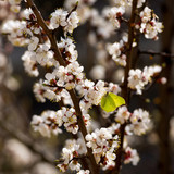 A common brimstone butterfly sits on a blossoming apricot tree. Selective focus. - 242729196