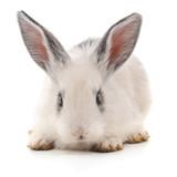 One white rabbit. - 242739796