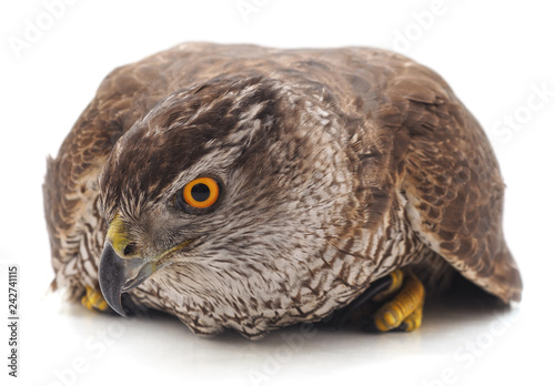 obraz lub plakat One brown falcon.