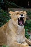 Löwin Zähne zeigen - 242743532