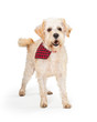 Friendly Wheaten Terrier Dog Checkered Bandana