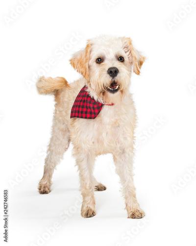 Friendly Wheaten Terrier Dog Checkered Bandana