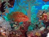 Coral hind, Abu Fandera reef, Red Sea, Egypt