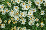 Chamomile Flowers Taken in Gardens