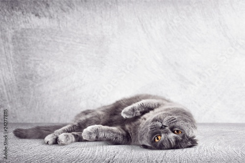 British Shorthair Cat Lying Down on the Ground
