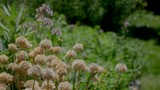 Chives in an herb garden as bees service surrounding plants. - 242785178