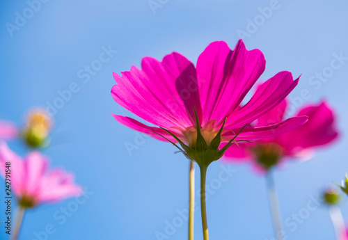 Close up of daisy garden with blue sky background