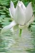 Leinwanddruck Bild - fleur blanche de lotus