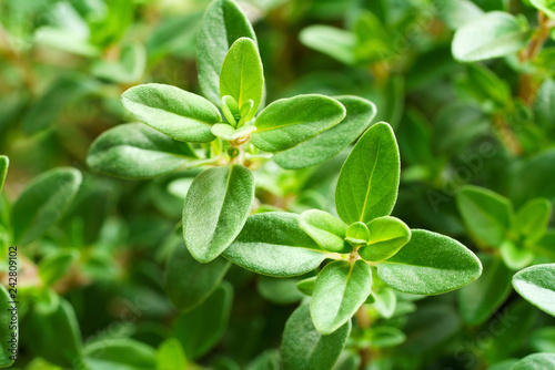 close up of fresh thyme leaves