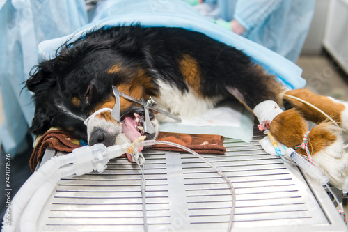 mata magnetyczna Serbernar on operating table in a veterinary clinic