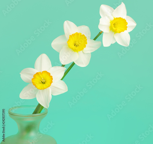 Three white daffodils on a blue background.