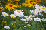 White daisies in flowerbed