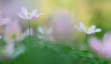 Wild white spring flowers, wood anemone nemerosa. Soft focus macro of forest wildflowers on a blurred background. - 242839155
