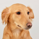Portrait of an adorable mixed breed dog - 242839588