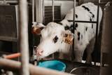 Cows in a farm. Dairy cows.