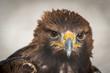 Águila real con un gran pico y ojos penetrantes majestuosa y potente