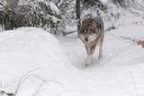 Wolfswinter. - 242854743