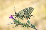 mariposa macaón colorida y grande colores vivos e intnsos