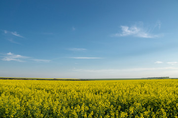 Yellow rapeseed field under blue sky