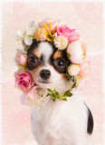Painting of a Chihuahua with a wreath of white and pink flowers