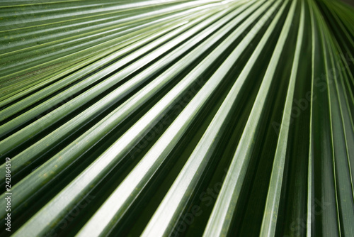 abstract close up of palm tree leaf