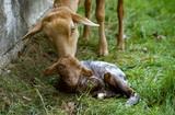 Sheep and newborn lamb - 242865583