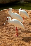 African Spoonbill, white, animal, nature, wildlife, beak, feather, wild, zoo, fauna, standing,