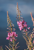 Chamaenerion angustifolium, commonly known in North America as Fireweed or Great Willowherb, and in Britain as Rosebay Willowherb. Lit by the evening sun, against a background of storm clouds. - 242871988