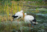 Close up of storks in the spring pond