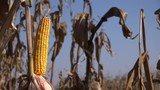 Farmer examining corn cobs before harvest in cultivated field - 242873942