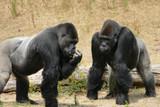 Gorilla - 242883786