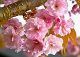 Sakura pink flowers . Springtime - Spring blossom background.  - 242885935
