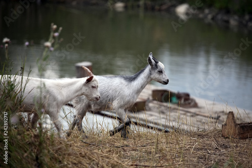 Two young goats strolling along the shore of the pond
