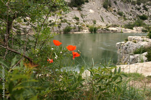 Coquelicots sur fond du Gardon à Collias - 242893547