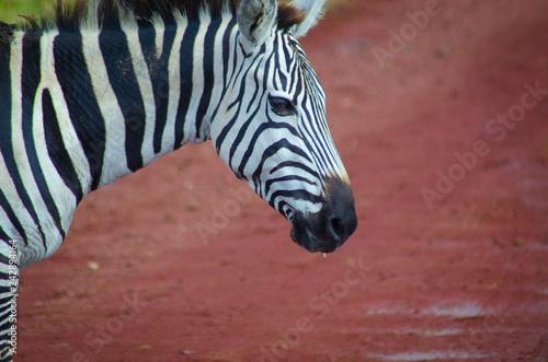 Poster zebra head shot in serengeti