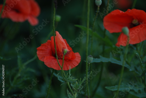 red poppy in field - 242896937