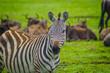 zebra head shot in serengeti