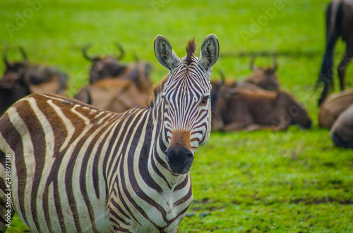 zebra head shot in serengeti - 242897138