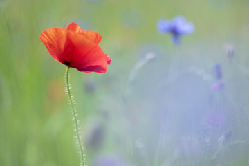 Poppies, a spring feeling - cornflowers in the back.