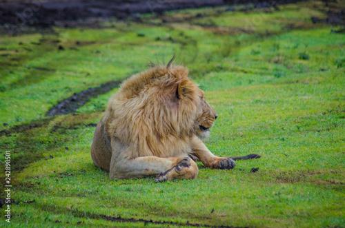 Obraz na płótnie lion resting in ngorongoro