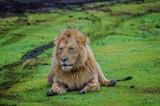 lion resting in ngorongoro - 242898723