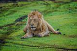 lion resting in ngorongoro