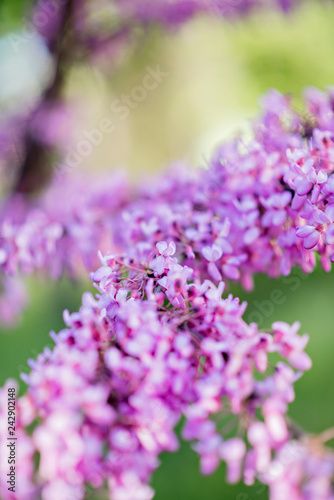 Beautiful lilac. Incredible purple lilac flowers. Spring and summer