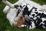 Hunde beim Beißspiel - 242920329
