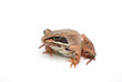 brown frog black eyes isolated on white background with light shadow