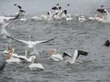 pelicans - 242932162