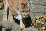 Cougar walking down mountain
