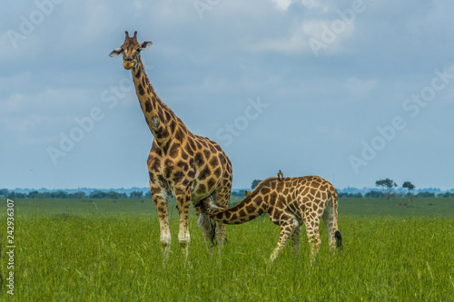 The little GIraffe it has been feeding by her mother in Murchison falls national park Uganda