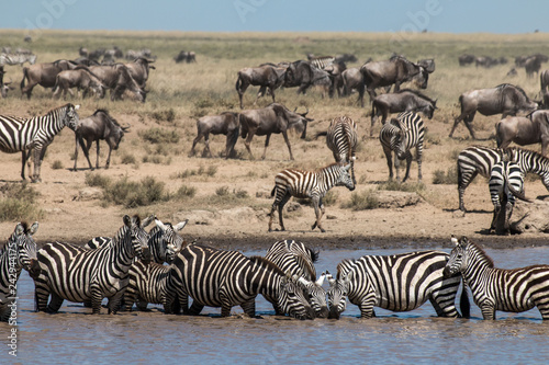 Zebra and  Gnu in Serengeti African safari  - 242944175