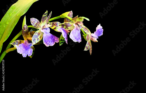 Blooming Orchid Odontoglossum isolated on black background.